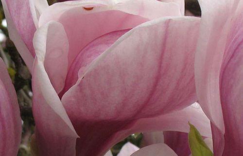 Magnoliachips1