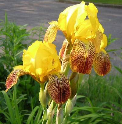 Yellowiris